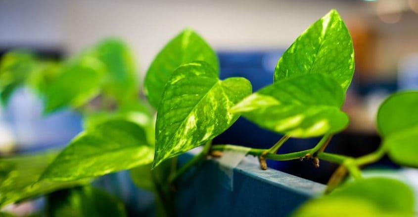 Do money plants bring wealth? Find the best spot