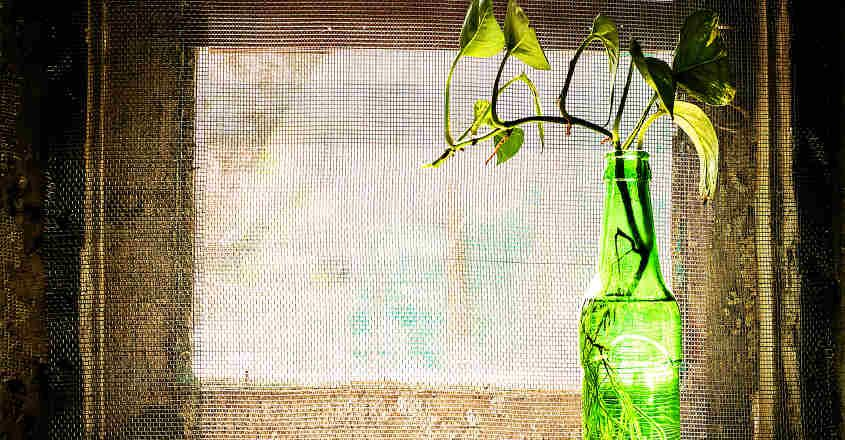 Where to grow a money plant inside house to bring wealth