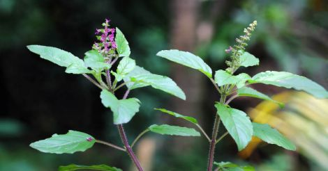 Poojas and rituals with basil plant