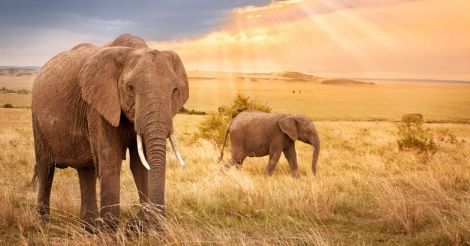 elephant-african