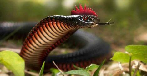 snake-rare