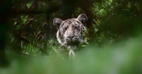 Rare tiger spotted in the Nilgiris