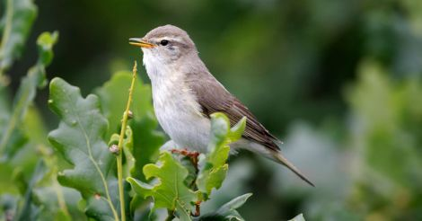 willow warblers