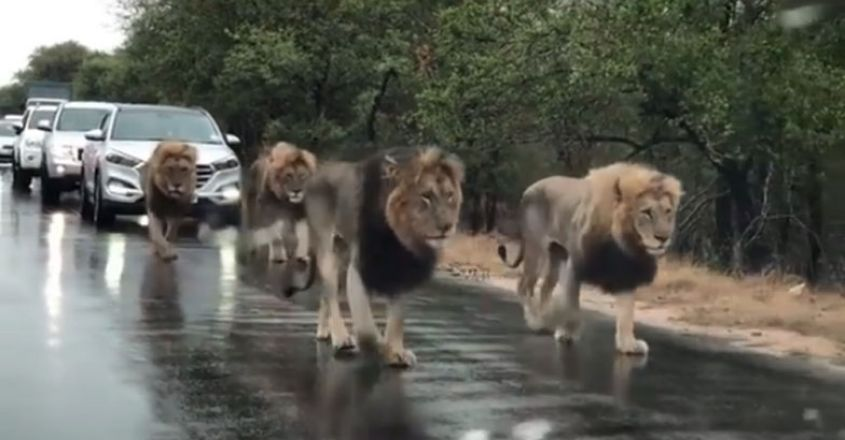 Four Lions Take Over Busy Road