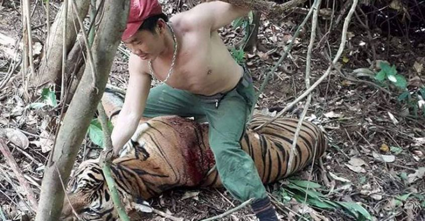 Poacher Sitting On A Bloodied Tiger