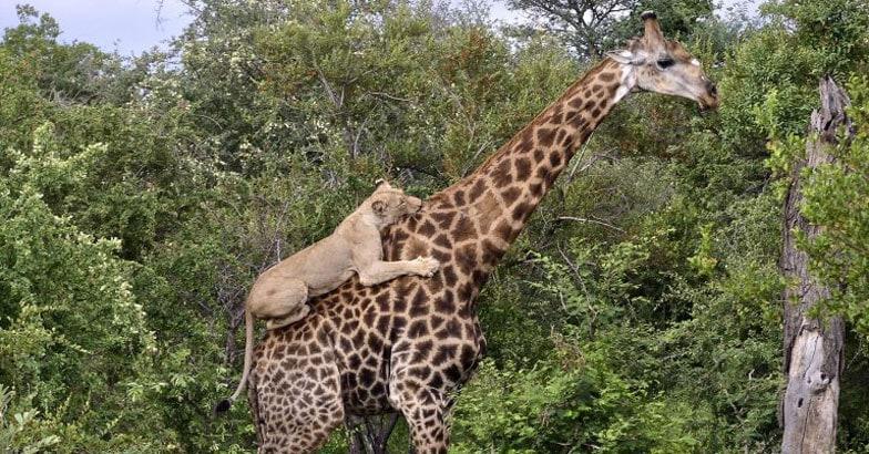 Lion clings to Giraffe