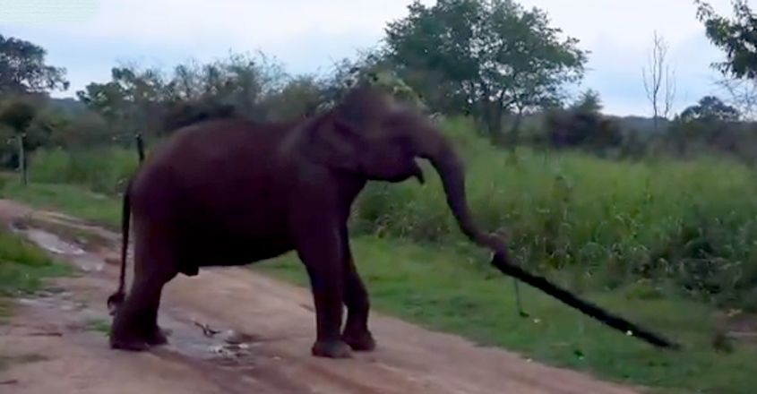 Clever elephant breaks electric fence