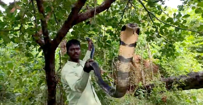 Vava Suresh Caught 170th Kingcobra at Thenmala