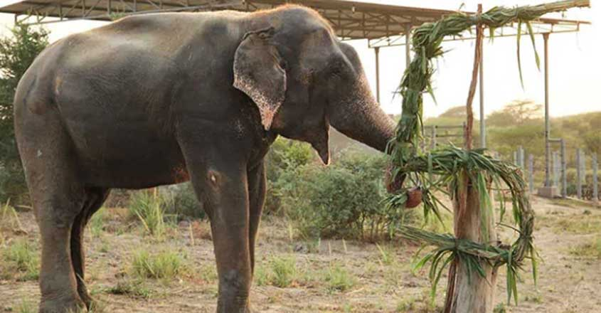 Elephant Rescued From Captivity Celebrates 5 Years Of Freedom