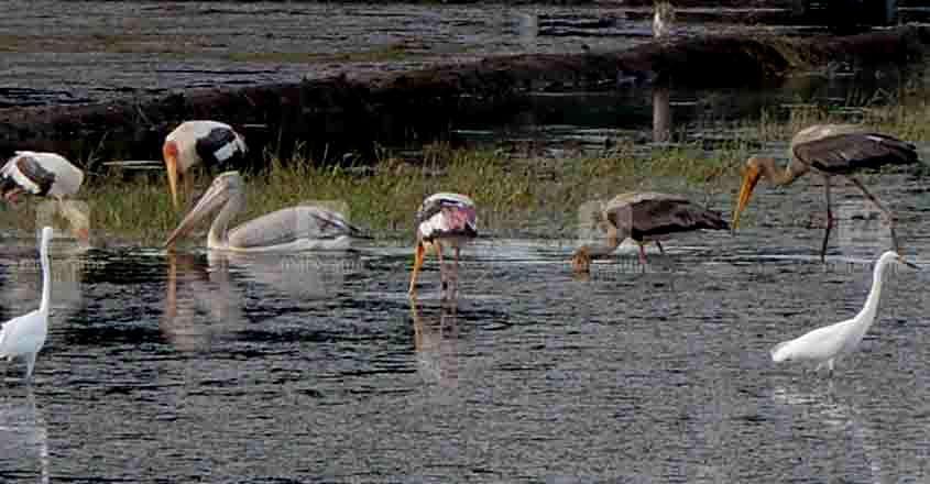 kumarakom migratory birds