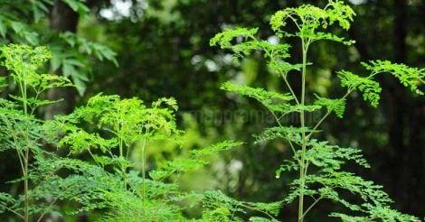 drumstick-leaf