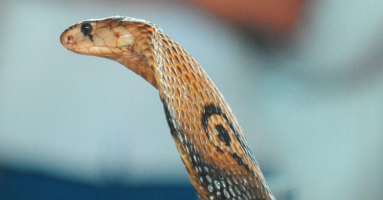 cobra-snake-bite