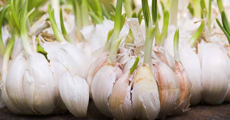 sprouted-garlic