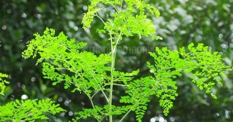 leaf-drumstick