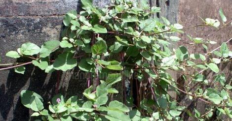 leaf-thazhuthama