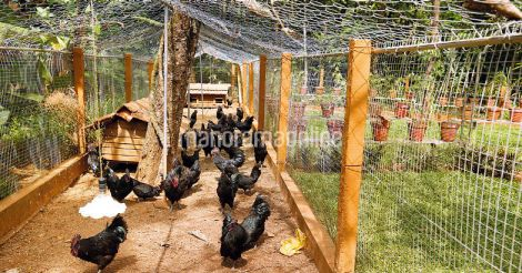 chicken in home stay