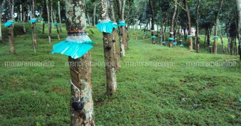 rubber-plantation