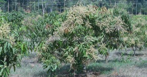mango-plantation-by-tv-gopinath