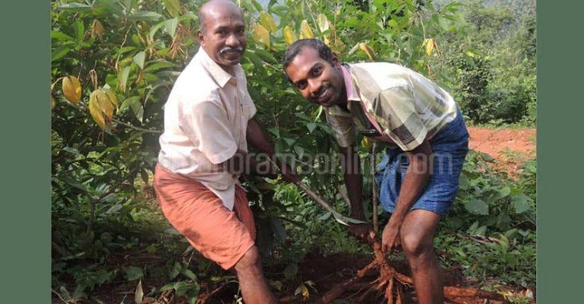 romeo-keerthichandran-tapioca-harvest