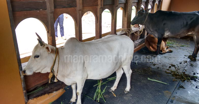 healthication-farm-resort-punganur-cow