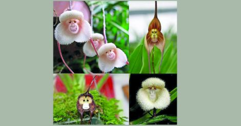 monkey-orchid