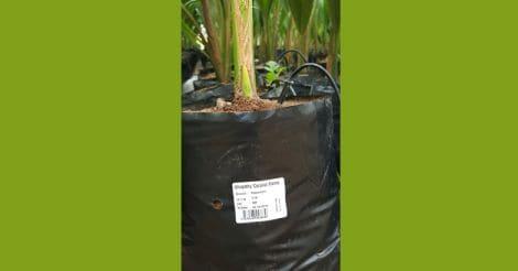 coconut-seedling