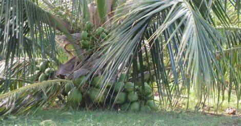 ramganga-coconut-tree