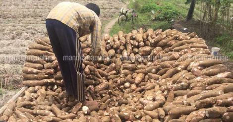 cassava-tapioca-farm1