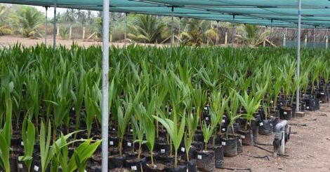 coconut-seedlings