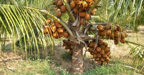 coconut-tree
