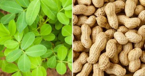 peanut-groundnut