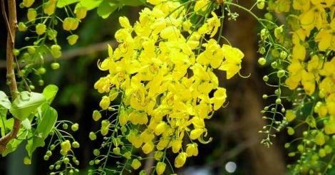 konnappoo-golden-shower-konna-flower-vishu