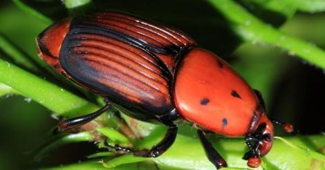 red-palm-weevil-chemban-chelli