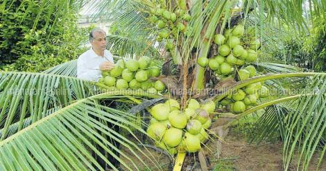 dwarf-coconut-tree