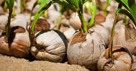 coconut-sprout-seedling