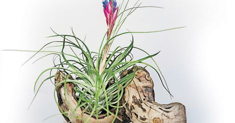 airplant-grapewood-small