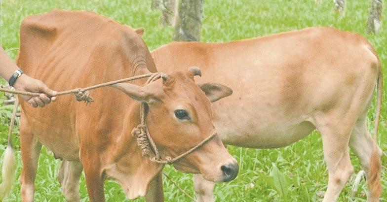 cheruvalli-cow