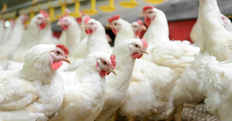 poultry-hen-chicken