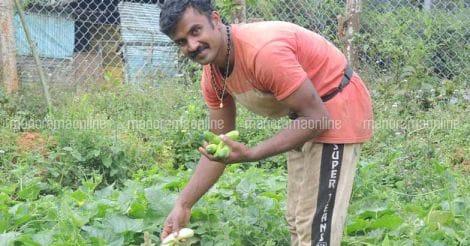 raja-cucumber-harvest