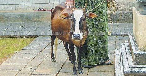 cow-4