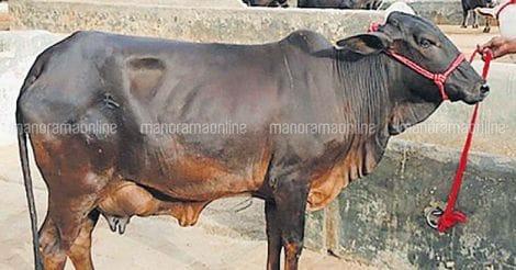 cow-5
