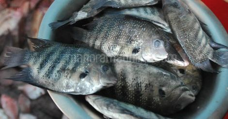 karimeen-fish-green-chromide