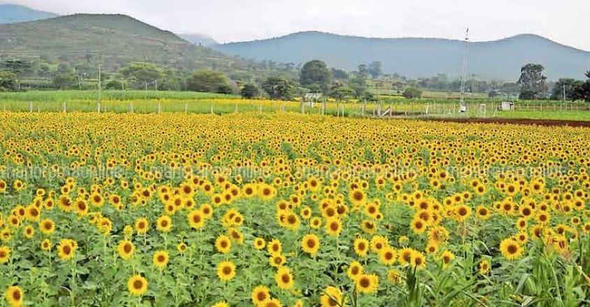 sunflowers-bloom-at-gundlupet