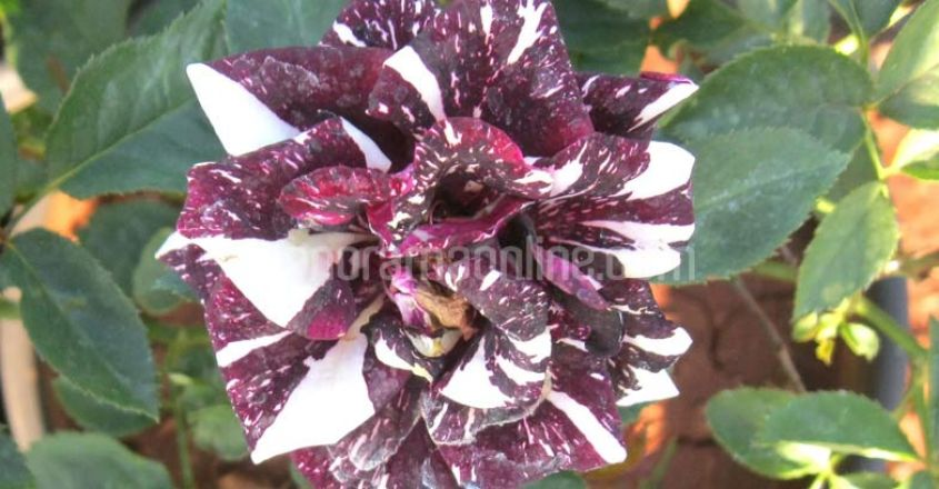 pune-flower-nursery-mosaic-rose-flower