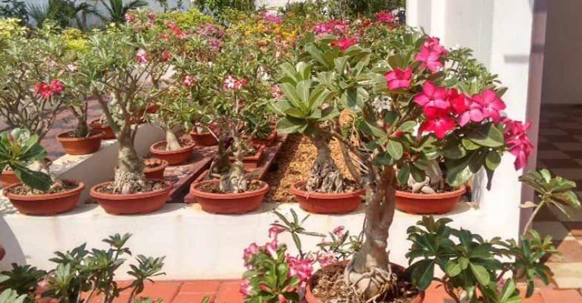 adenium-bonsai-flower-plant
