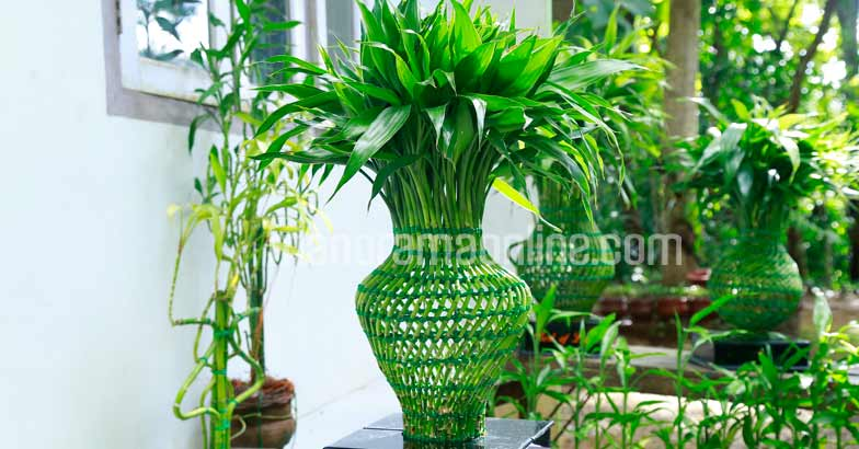 lucky-bamboo