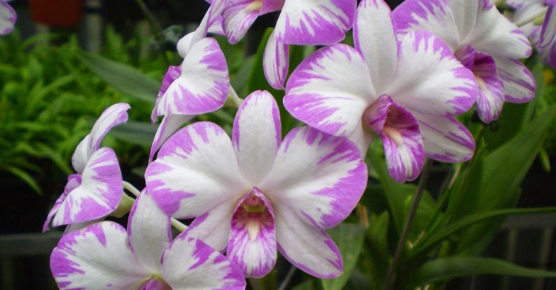 orchid-flower2