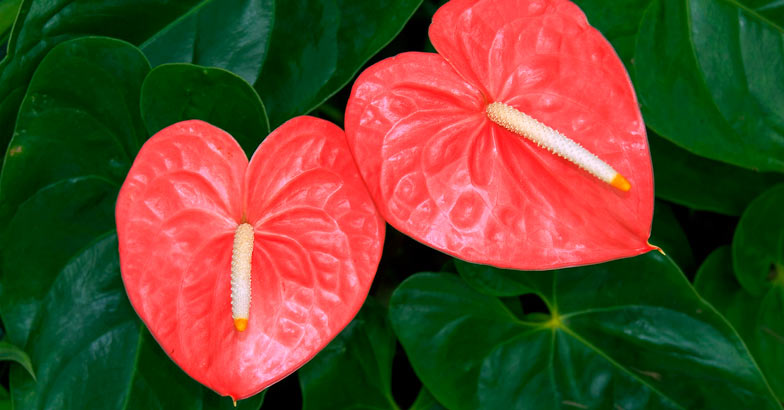 flower-anthurium