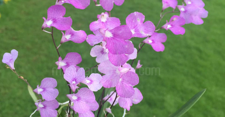ionopsis-orchid-flower