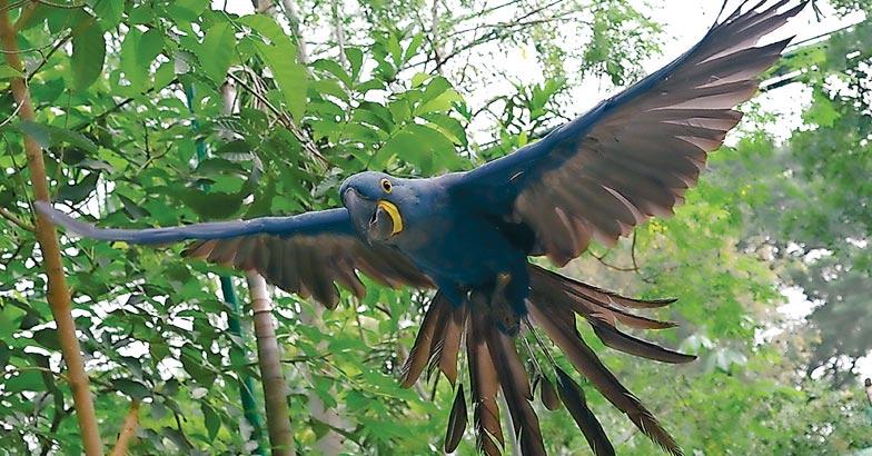 parroHyacinth-Macaw2